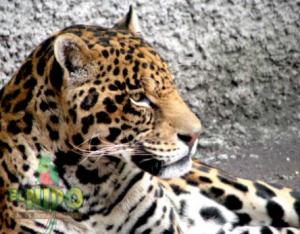 Jaguar.-Foto-El-Nido-300x234
